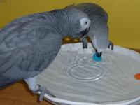 DNA sexed Male African grey parrot,Charlie is 2 years