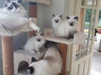 We have adorable female and male Ragdoll kittens for
