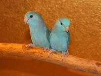 This is a proven pair of parrotlets, whose off spring