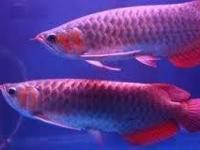 Animal Type: Fishes Breed: Arowanas super red and many