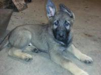 . AKC German Shepherd Pups, Excellent Quality East/DDR