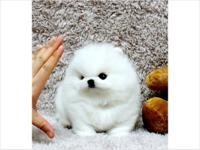 Beautiful AKC Teacup Party Pomeranians available! any