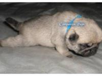 We have Excellent Champion Line Pug Puppies available!