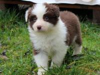 Excelling Border collie puppies for adoption.Good