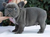 Stunning French Bulldog male pups .. They are 6 weeks