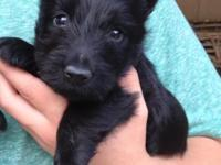 Red Hackle offers quality Scottish Terrier puppies for