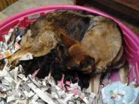 This stunning German Shepherd Dog Puppy litter will be