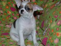 We have some gorgeous Chihuahua puppies now available.