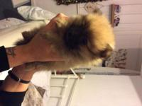 Extremely sweet Pomeranian puppy left for sale, full