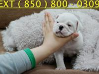 Exceptional Quality English Bulldog, Vet Checked,