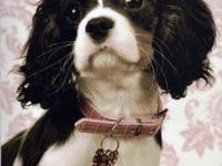 Gorgeous AKC Cavalier King Charles puppies ready for