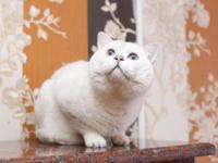 We suggest purebreed British Shorthair kitten. Kitty