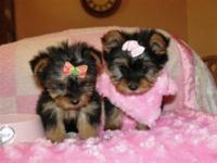 I have gorgeous Yorkie  puppies -teacup sizes .Shots