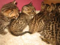 Exotic bengal kittens for sale aka Asian leopards. 3