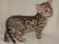Our family has adorable brown leopard spotted Bengal