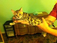 Exotic Bengal Kittens for sale. Born 11/13 they are