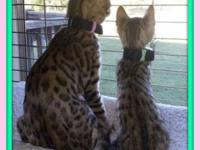 I have two Bengal Kittens for sale, a Female, who will