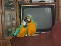 TWO PAIR OF BLUE AND GOLDS MACAWS WITH CAGE AND NEST ,