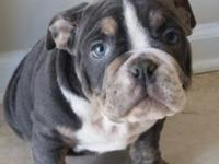 I have a blue tri color Olde English male left, he