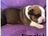 Born: 4/26/14 we have 3 beautiful Exotic Bully Hybrid