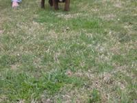 Exotic bully chocolate male just turn 4 mnths old short