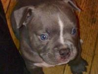 top of the line Exotics .EBK (Exotic Blues Kennels)