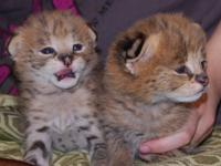 We have new litter of exotic cats Serval, Savannah (F1