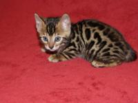 FOR SALE... 4 ABSOLUTELY BEAUTIFUL, F-5, MALE BENGALS