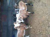 Exotic hair sheep, five rams ready to butcher, hunt or