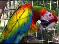 Exotic Harlequin Macaw Hand-fed Babies for Sale.