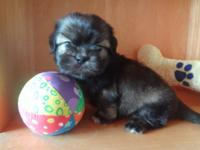Imperial shih tzu male beauty with bear face. is
