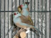 I currently have the following exotic finches for sale: