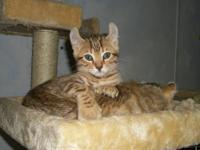 Beautiful kittens with leopard spots, marble markings,