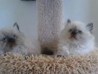 My CFA silver-shaded Persian had a litter of 3 kittens