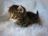 blue teacup persian kittens for sale in California Classifieds & Buy ...