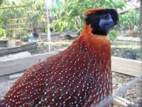 HELPING A FRIEND TO RELOCATE THIS BIRDS 1 TRAGOPAN MALE