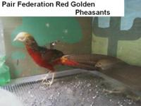 PHEASANTS :Satyr Tragopan $650., one pair Federation