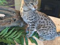 Exotic Savannah kittens available! Beautiful