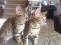 Beautiful Savannah kittens- hottest new breed, African