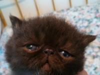 Exotic Shorthair, 4 sweet mild kittens all looking to