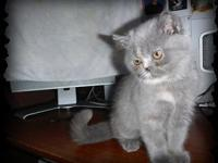 Blue Cream female kitten, huge round eyes, teddy bear