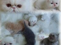 Exotic SHORT HAIR Kittens- These are just like long