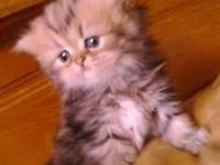 EXOTIC Short Hair PERSIANS. Silvers and Tabys. male and