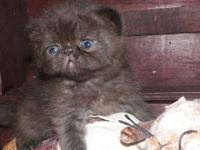 Kennedy's Kittens has 2 Beautiful Exotic Shorthair