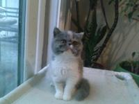 Dilute Calico, 4 mo old, vaccinated, litter box