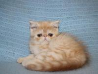 So lovely Exotic shorthair girl is waiting for her new