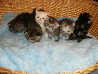 Exotic shorthair and Ragdoll Kittens available. CFA