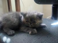 I have 3 Exotic Shorthair Kittens 2 female and one
