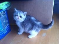 CFA Exotic Shorthair Kitten, now prepared to go to his