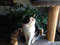 Exotic short hair Male 2 years old Very nice cat, loves
